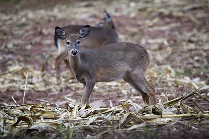 В США впервые обнаружили COVID-19 у оленей